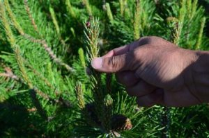 Annual Plantings & Pine Candle Snapping by Kevin Napora