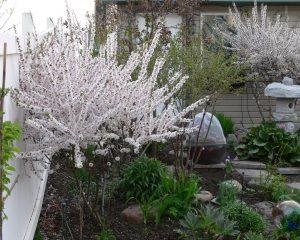 s Prunus Tomentosa1.516