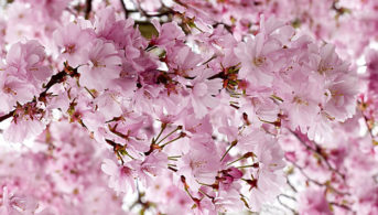 Cherry Blossom Salisbury Landscaping Dream Blog Kevin