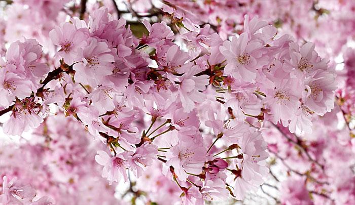 Cherry Blossom Salisbury Landscaping Dream Blog Kevin