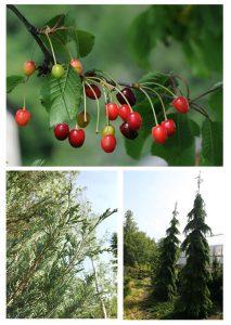 Upright Juniper, Juliet Cherry, Weeping White Spruce