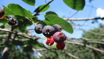 Serviceberry or Saksatoon Berry Tree