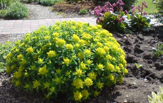 mounding perennials