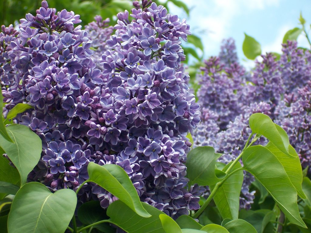 Lilacs for colour in the Spring season