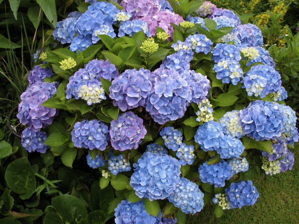 Hydrangeas for colour in the Summer season