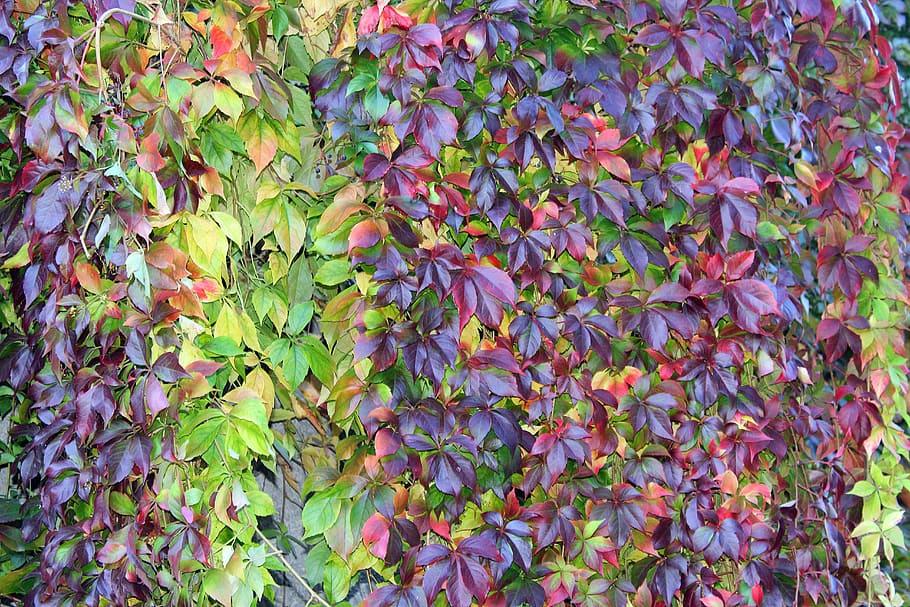 Virginia Creeper for colour in the Fall season