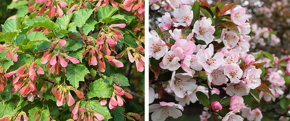 Salisbury Landscaping Maple tree and Crab tree