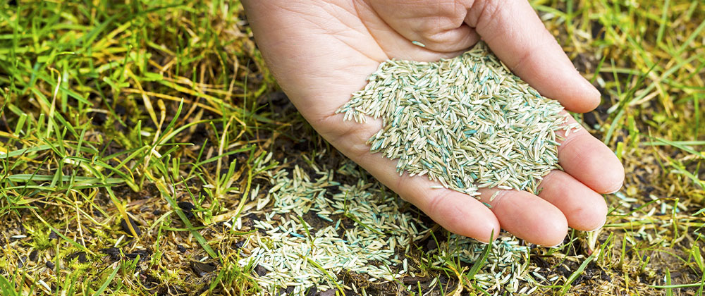hand full of lawn seed for overseeding patches