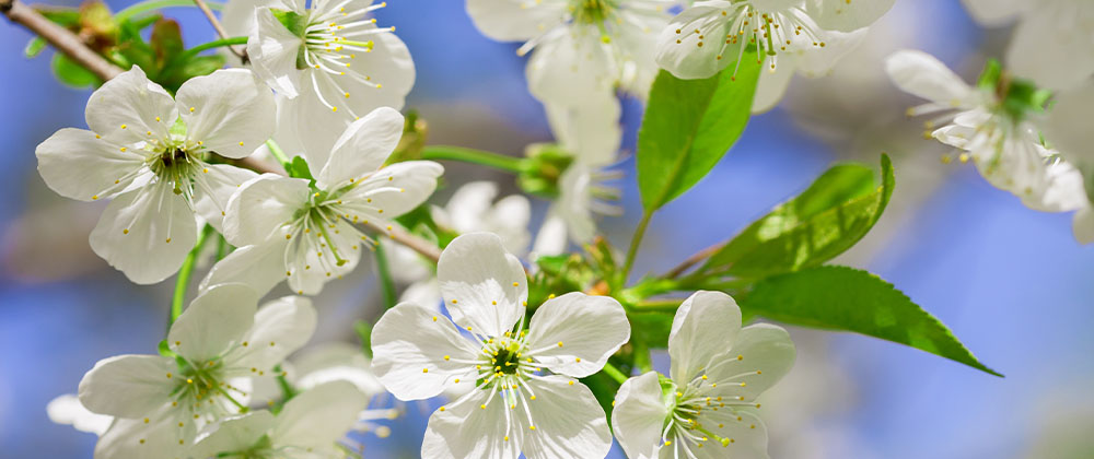 cupid cherry tree blossom