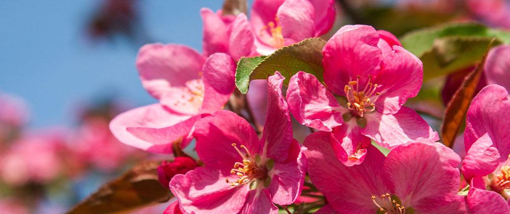 kelsey flowering crabapple bloom