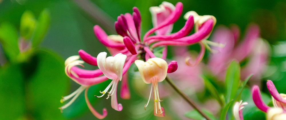 honeyrose honeysuckle plant