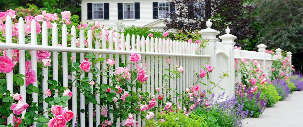 beautiful roses climbing front yard fence