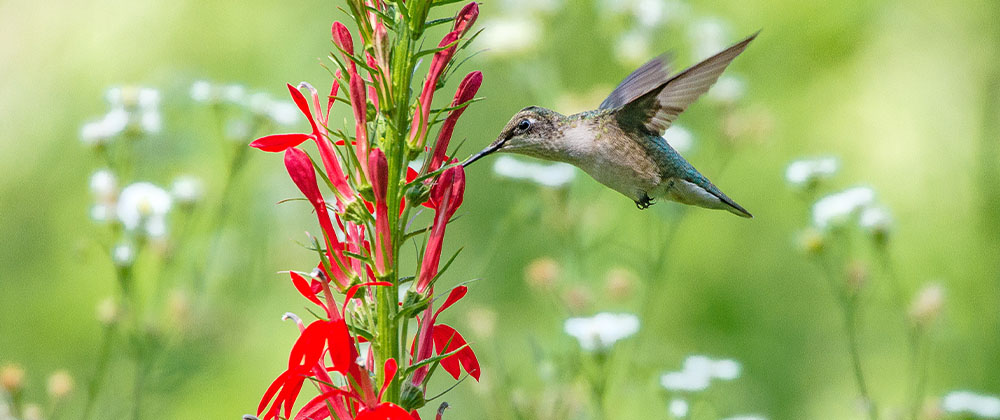 hummingbird feeding on red flower
