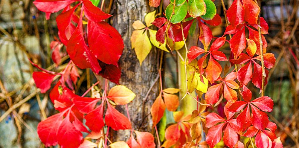 virginia creeper in the fall Salisbury Landscape